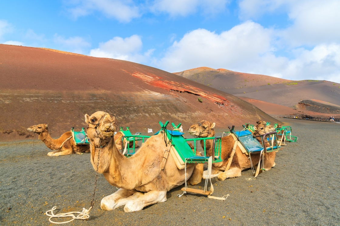 Camels in Timanfaya National Park waiting for tourists, Lanzarote, Canary Islands, Spain